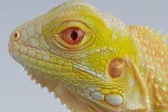白变种鬣鳞蜥 免版税库存照片