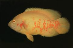 白变种鱼奥斯卡 库存图片