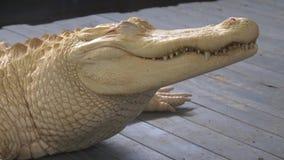 白变种鳄鱼关闭画象 股票视频