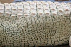 白变种鳄鱼纹理 库存图片