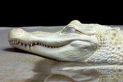 白变种鳄鱼 免版税库存图片
