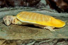 白变种鳄龟 库存照片