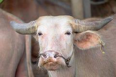 白变种水牛 免版税库存图片