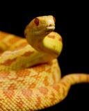 白变种穴蛇 库存照片