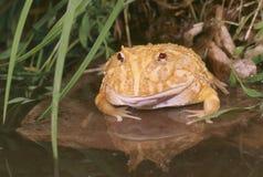 白变种ceratophrys cranwelli青蛙垫铁 免版税库存照片