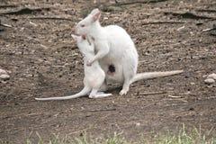白变种joey鼠和妈咪 免版税库存图片