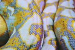 白变种Python蛇皮纹理背景关闭 免版税库存照片