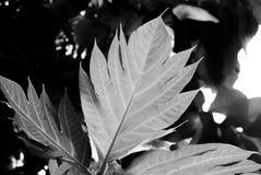 黑白叶子,事假背后照明  库存照片