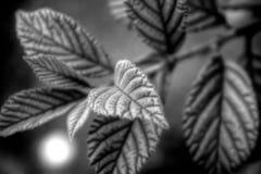 黑白叶子 免版税图库摄影