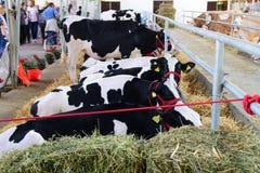 黑白吃草和休息在谷仓的母牛和一头棕色和白色母牛 库存图片