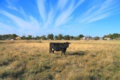 黑白品种孤独的母牛  免版税图库摄影