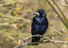 白嘴鸦-与在树栖息的呈虹彩全身羽毛的乌鸦座frugilegus 免版税库存图片