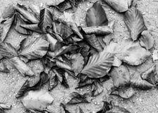 黑白图片干燥下落的叶子 库存图片