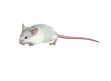 白在白色背景的儿童逗人喜爱的老鼠 免版税库存照片
