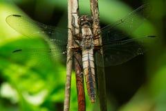 白垩朝向的伍长Dragonfly - Ladona茱莉亚 图库摄影