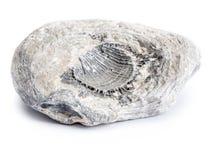 白垩纪化石 免版税图库摄影