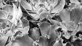 黑白多汁植物 免版税库存照片