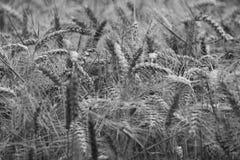 黑白大麦 免版税图库摄影