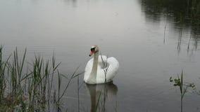 白天鹅喑哑在雨中 影视素材