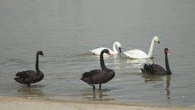 黑白天鹅 免版税图库摄影