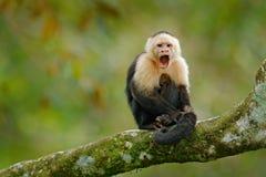 白头的连斗帽女大衣,黑猴子坐在黑暗的热带森林野生生物哥斯达黎加的树枝 旅行假日在Centr 免版税库存照片
