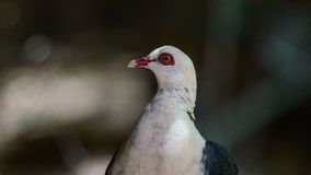 白头的鸽子 免版税库存照片