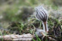 白头翁属寻常的绽放在早期的春天 图库摄影