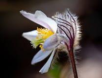 白头翁属vernalis 库存图片