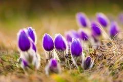 白头翁白头翁属开花 详述紫罗兰色花宏指令,被采取在美好的春天日落期间 春天来到自然 免版税库存图片