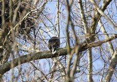 白头鹰在树栖息在Conowingo水坝的巢附近在萨斯奎哈那河,马里兰,美国 库存图片
