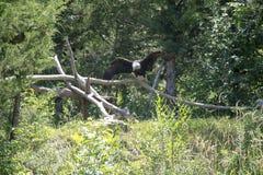 白头鹰在森林 免版税库存图片