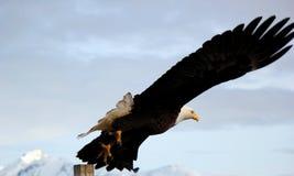 白头鹰在荷马阿拉斯加的采取飞行 免版税库存照片