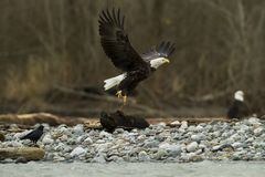 白头鹰在飞行中与鱼离开 免版税库存照片