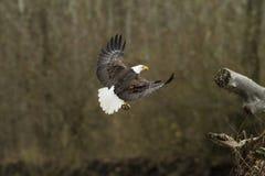 白头鹰在飞行中与鱼离开 免版税图库摄影