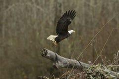 白头鹰在飞行中与鱼离开 库存图片