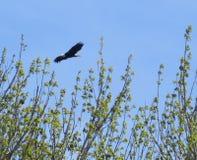 白头鹰在飞行中在灌木 库存照片