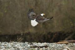 白头鹰在飞行中在空中 图库摄影