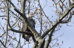 白头鹰在Conowingo水坝的树栖息在萨斯奎哈那河,马里兰,美国 免版税库存图片