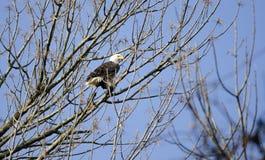 白头鹰在Conowingo水坝的树栖息在萨斯奎哈那河,马里兰,美国 免版税库存照片