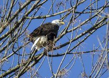白头鹰在Conowingo水坝的树栖息在萨斯奎哈那河,马里兰,美国 图库摄影