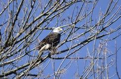 白头鹰在Conowingo水坝的树栖息在萨斯奎哈那河,马里兰,美国 免版税图库摄影