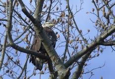 白头鹰在Conowingo水坝的树栖息在萨斯奎哈那河,马里兰,美国 库存照片