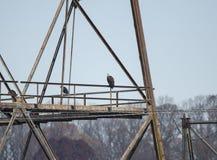 白头鹰在Conowingo水坝的电子塔栖息在萨斯奎哈那河,马里兰,美国 库存图片