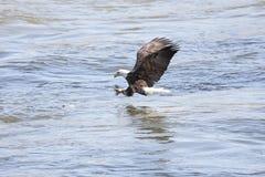 白头鹰捕鱼 库存图片