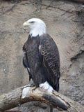 白头鹰栖息 库存照片
