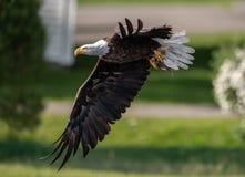 白头鹰渔在缅因 图库摄影