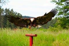 白头鹰着陆 免版税库存照片