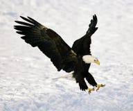 白头鹰着陆 免版税图库摄影