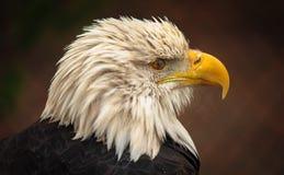 白头鹰端纵向 库存图片