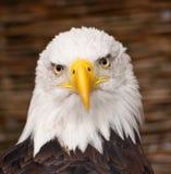 白头鹰纵向 免版税图库摄影
